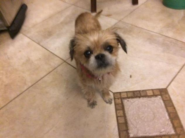 Jewell – Pekingese & Pomeranian Mix